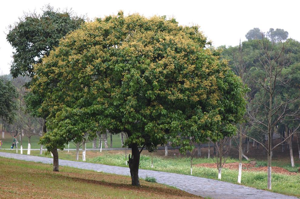松山湖挺多这样的树,有时候想不通这么小的树干支撑这么大的树